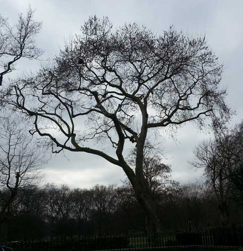 Green Park's notorious tree of death.